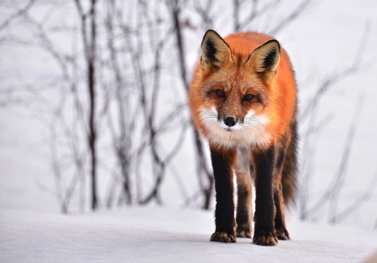 Любопытный лис