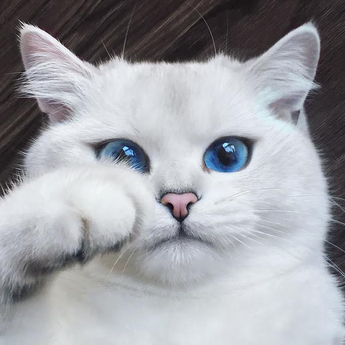 Праздником, картинки кошки белые с голубыми глазами