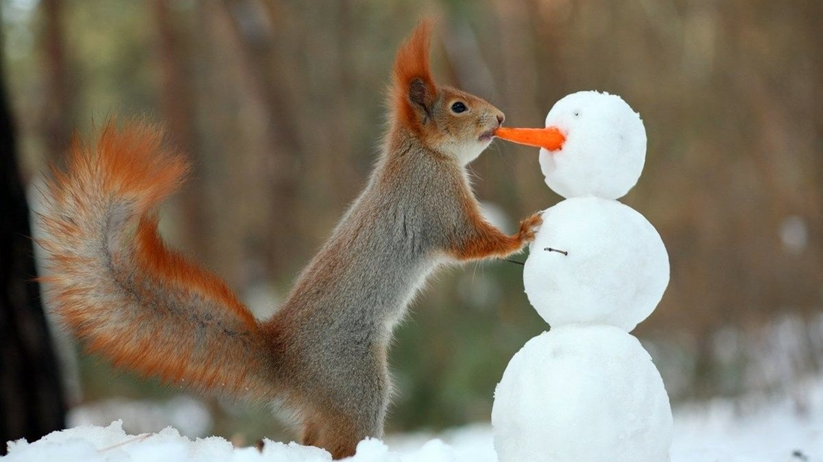 Забавная белка ворует морковку у снеговика
