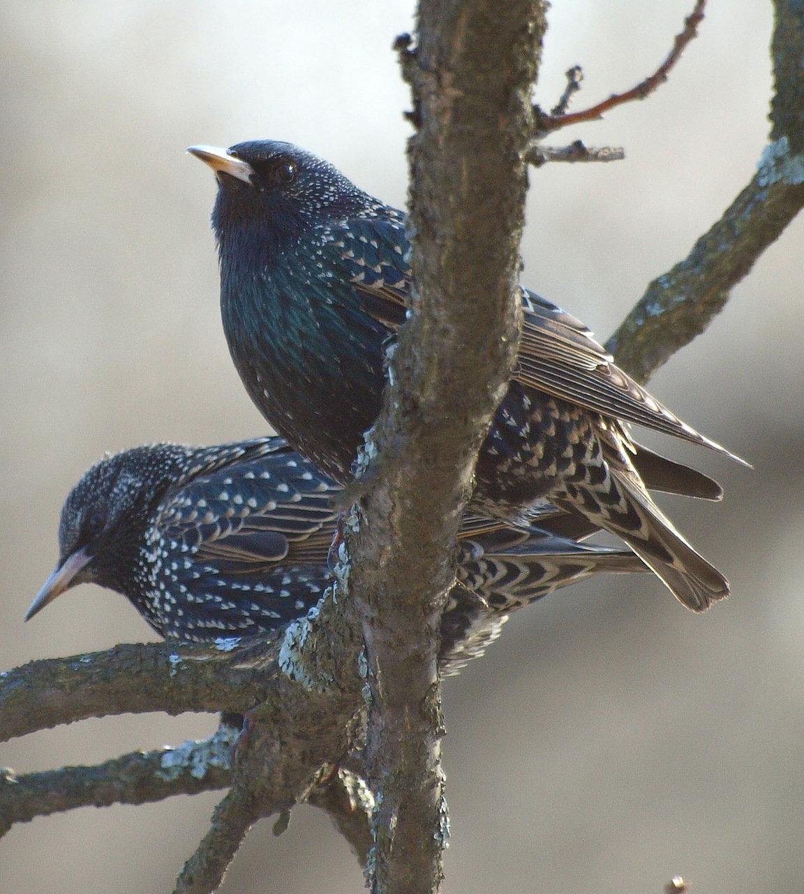 Что за птицы прилетают большими стаями как скворцы