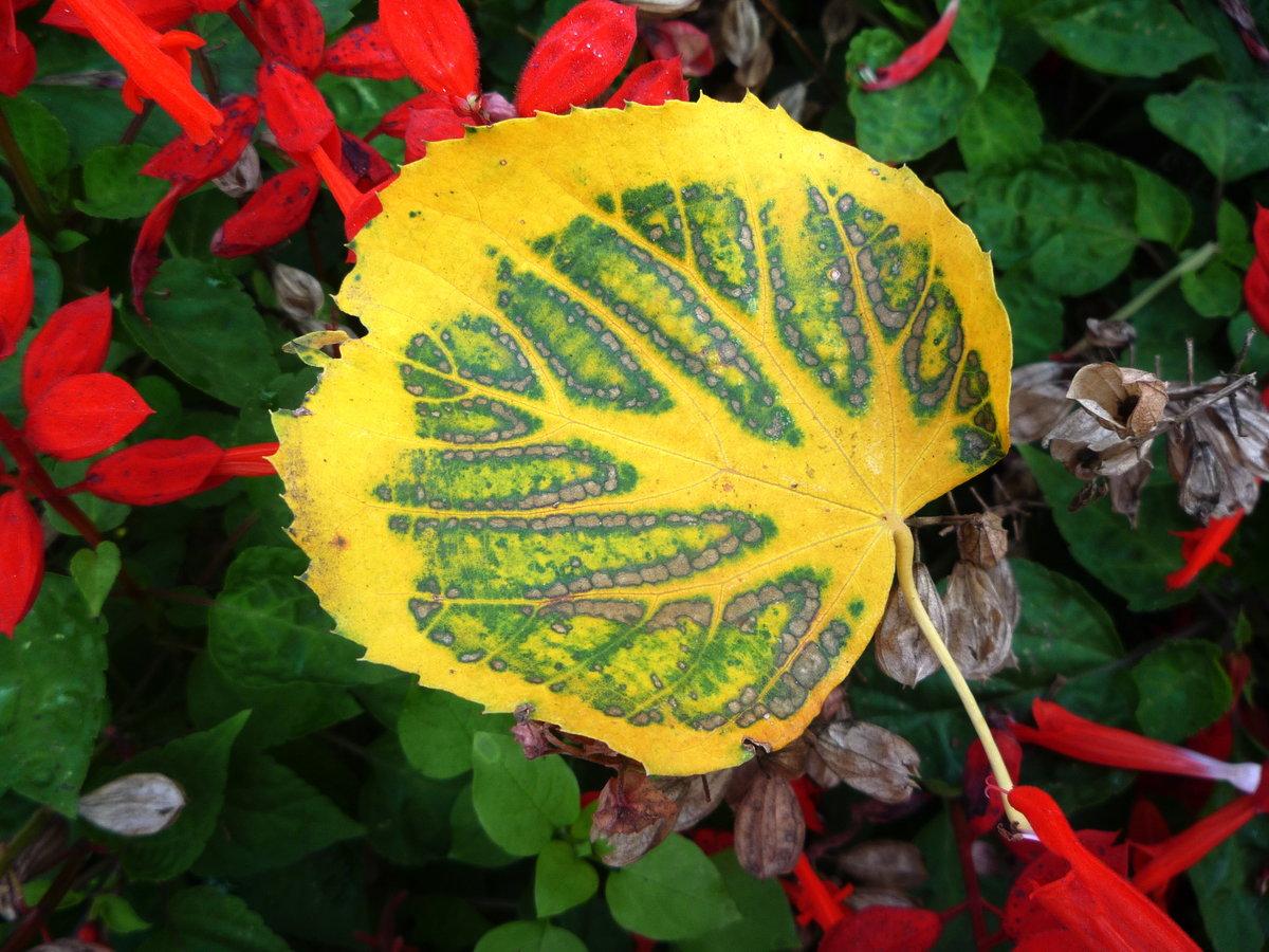 Осенний лист #valjabg #конкурс #красота #липа #лист #листва #листья #макро #октябрь #осень #пестрый #растения #рисунка #флора #художница #цветы
