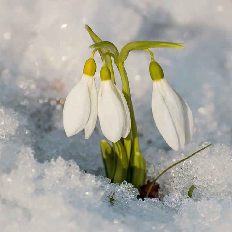 Картинки подснежники в снегу для детей