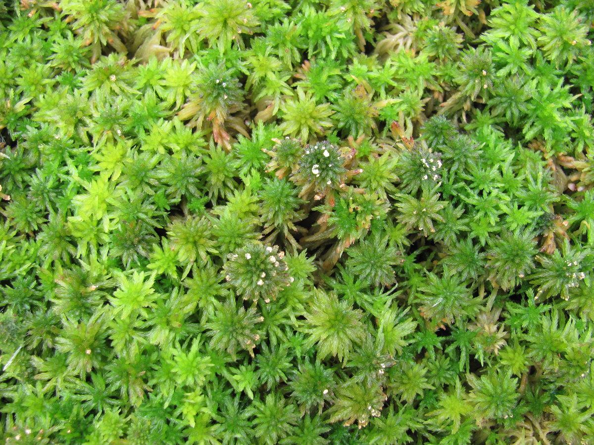 сфагновый мох фото если