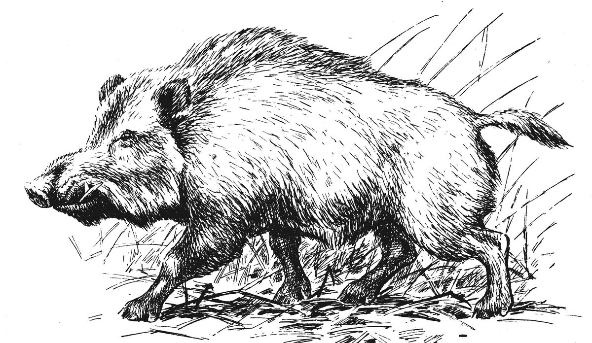 Картинка нарисованного кабана