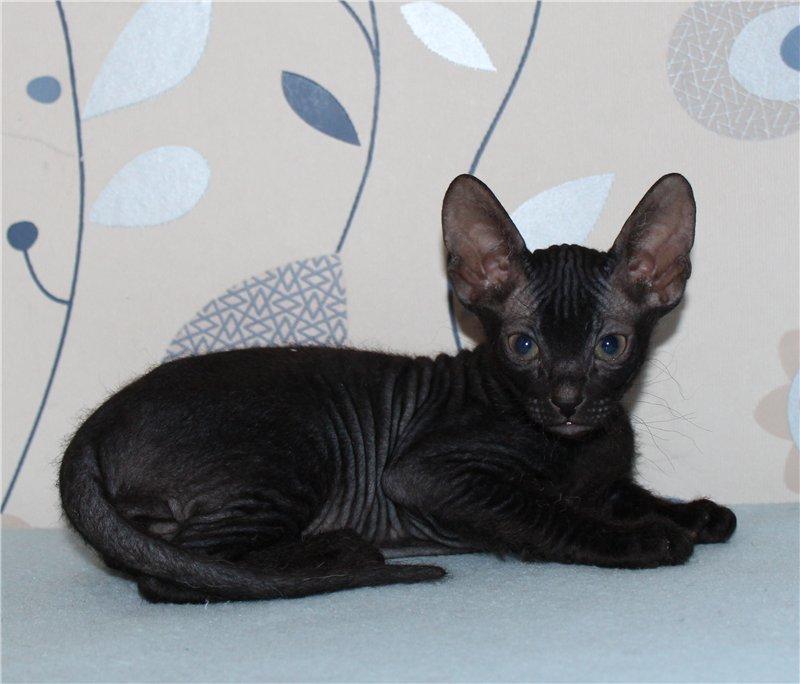 кошка сфинкс велюровый фото китен считается городом