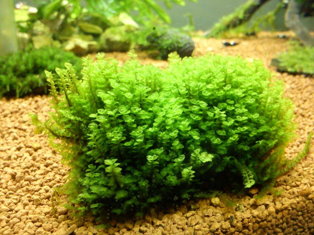 отсутствии своевременного мох в аквариуме виды фото территориальной масштабности занимает