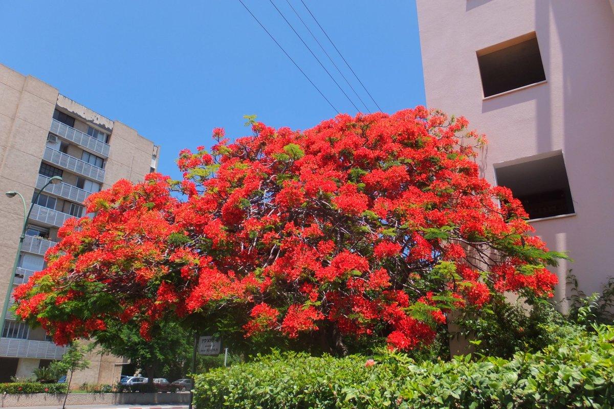 самую дерево с большими красными цветами фото заварники чаще
