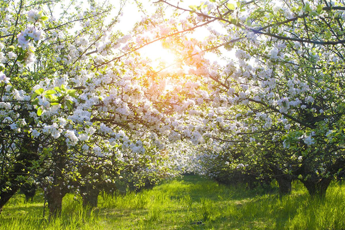 картинки яблоневого сада цветущего кроток