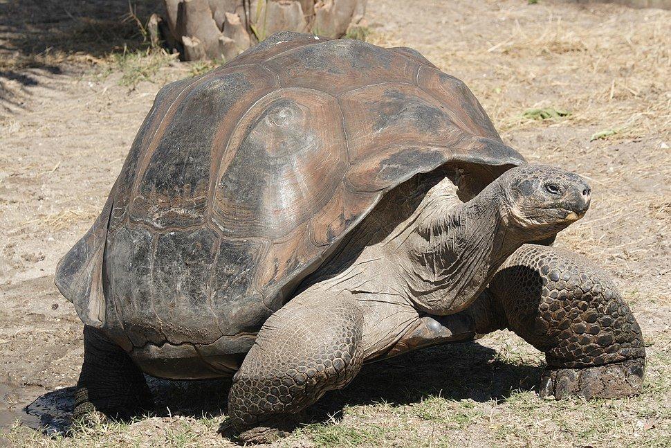 Картинки слоновой черепахи