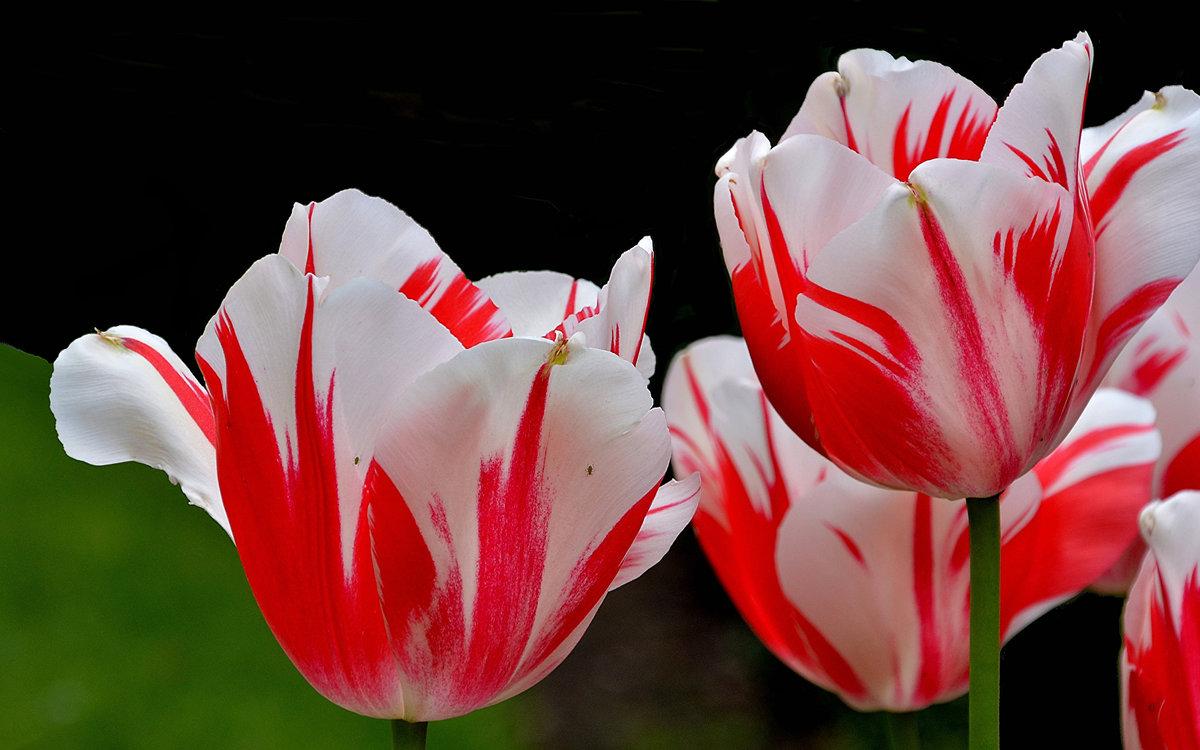 фото тюльпана крупным планом в хорошем качестве цветения