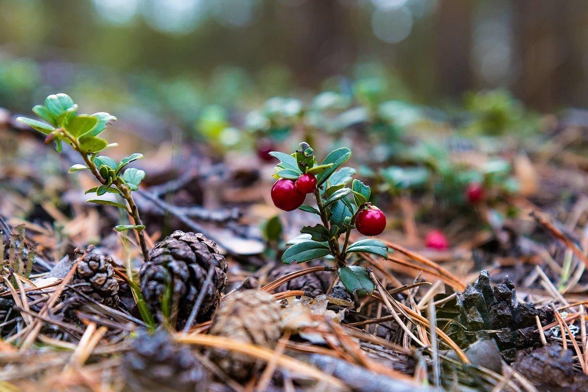 Картинка в лесу растут ягоды