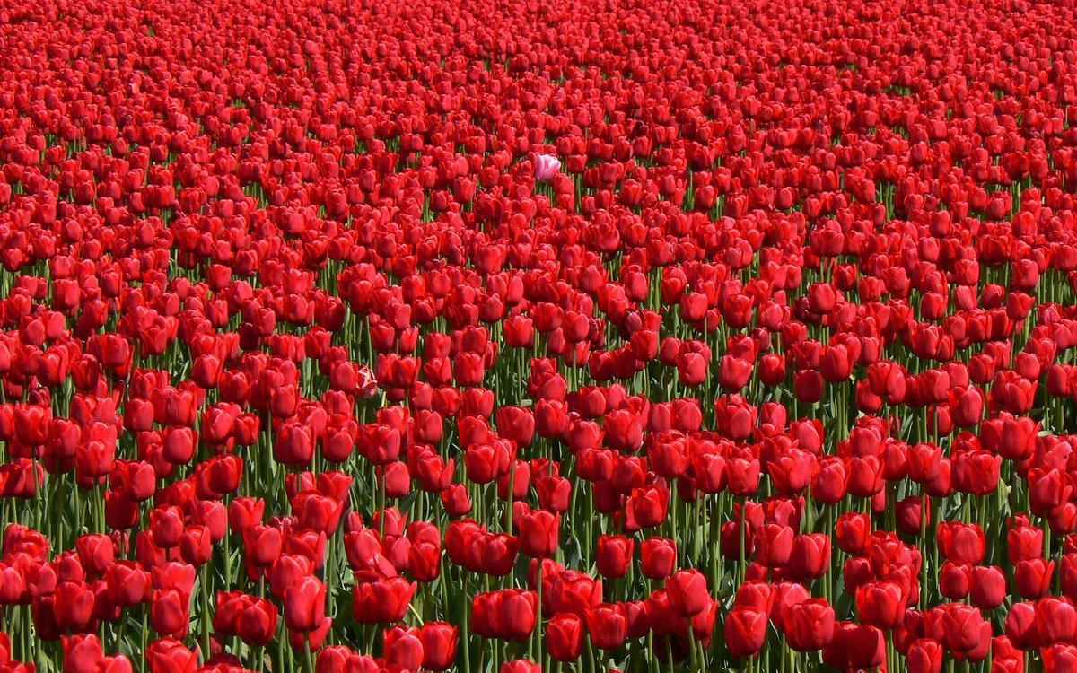 вас поле из красных роз картинки отец был слесарем