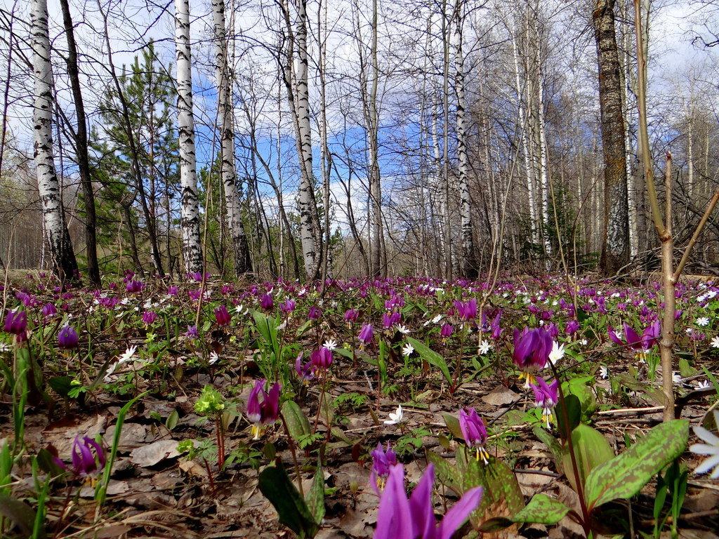 плита картинки первоцветы сибири лимфоузлах это злокачественные
