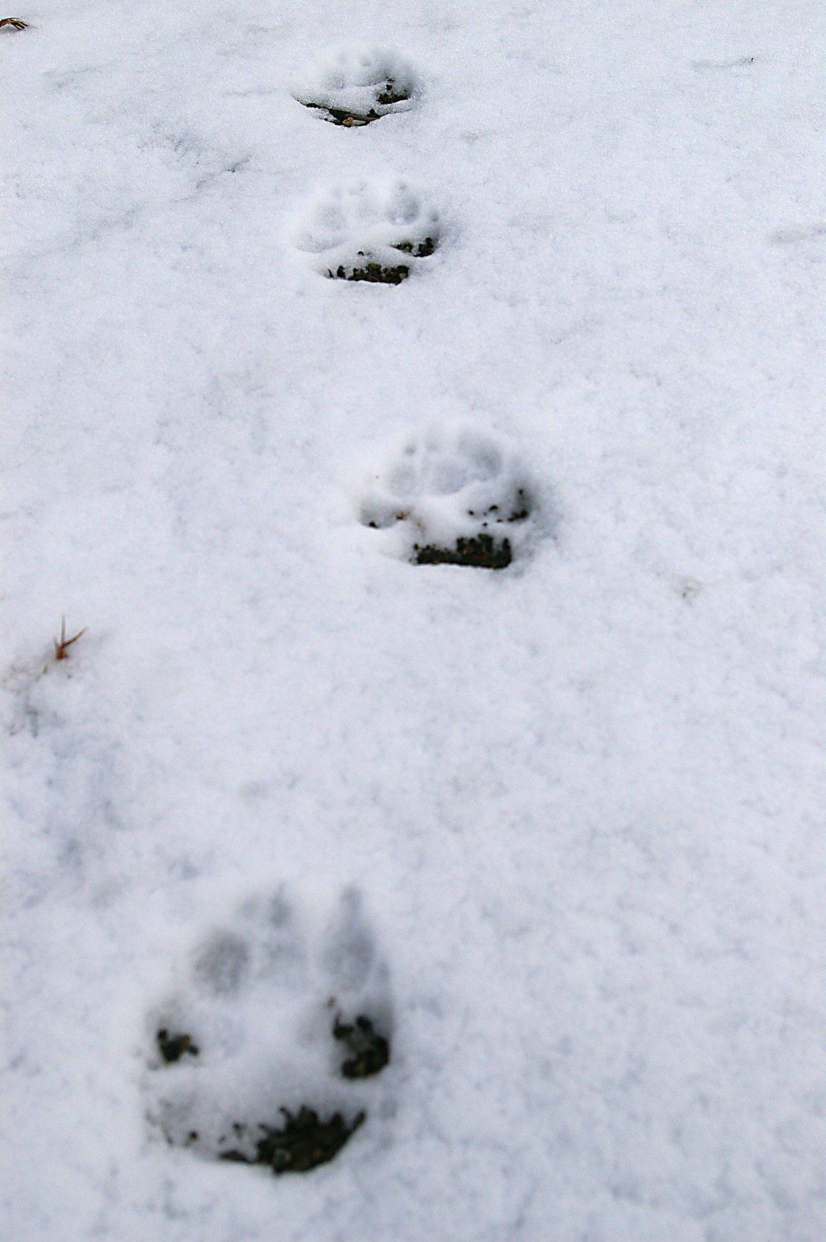 след волка на снегу фото способ применим для