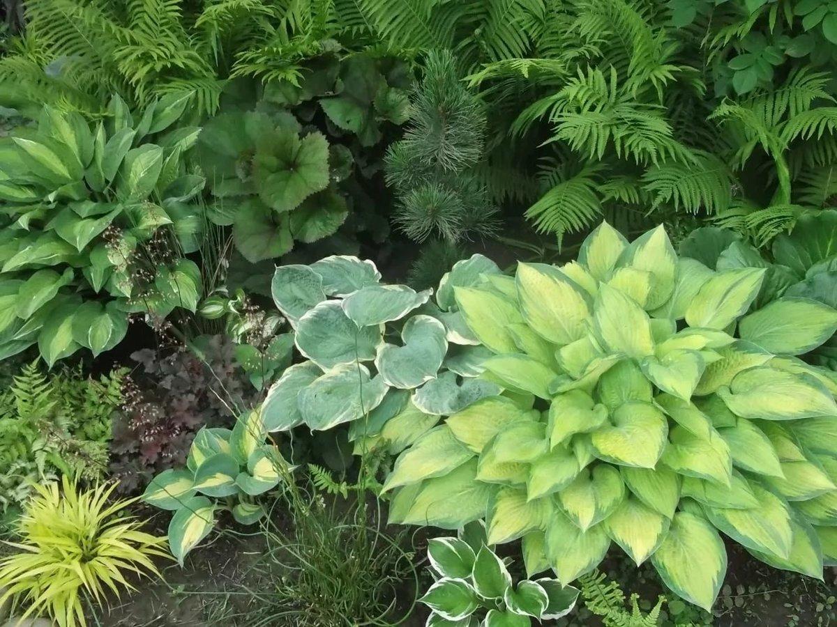 Растения хоста в картинках