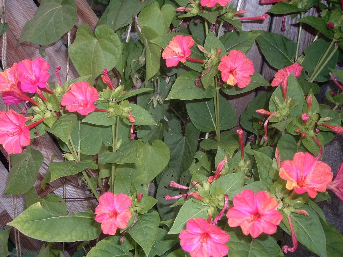 Букет, растение ночная красавица купить