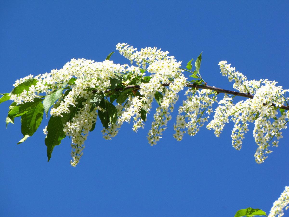 фото цветущей черемухи широкоформатные