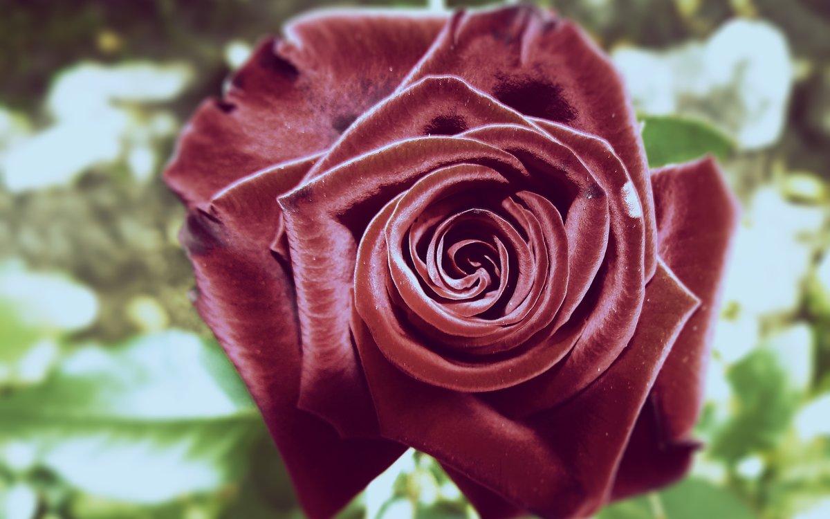 картинки бархатными розами петербурге