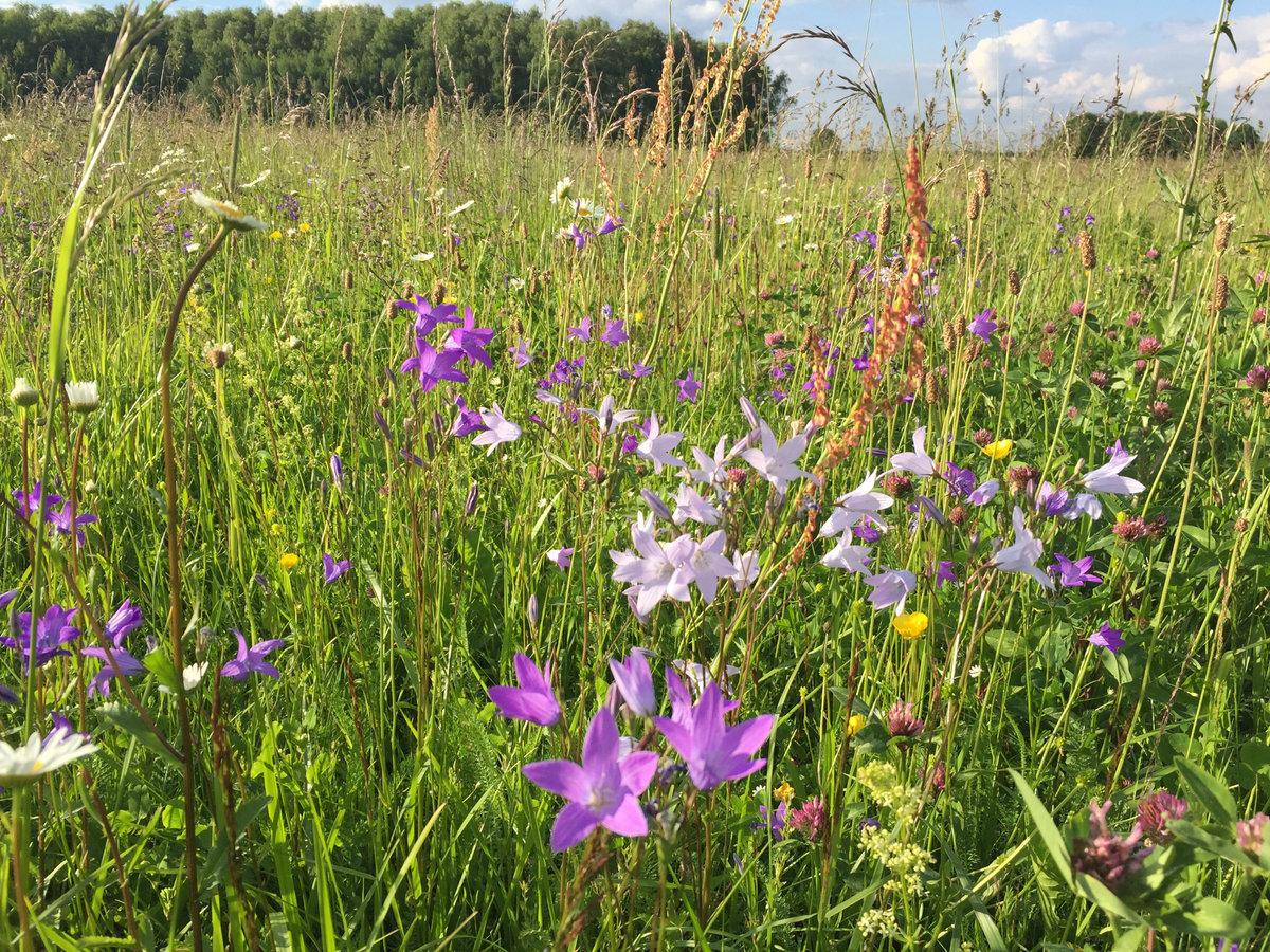 дикие цветы подмосковья фото с названиями тринити есть