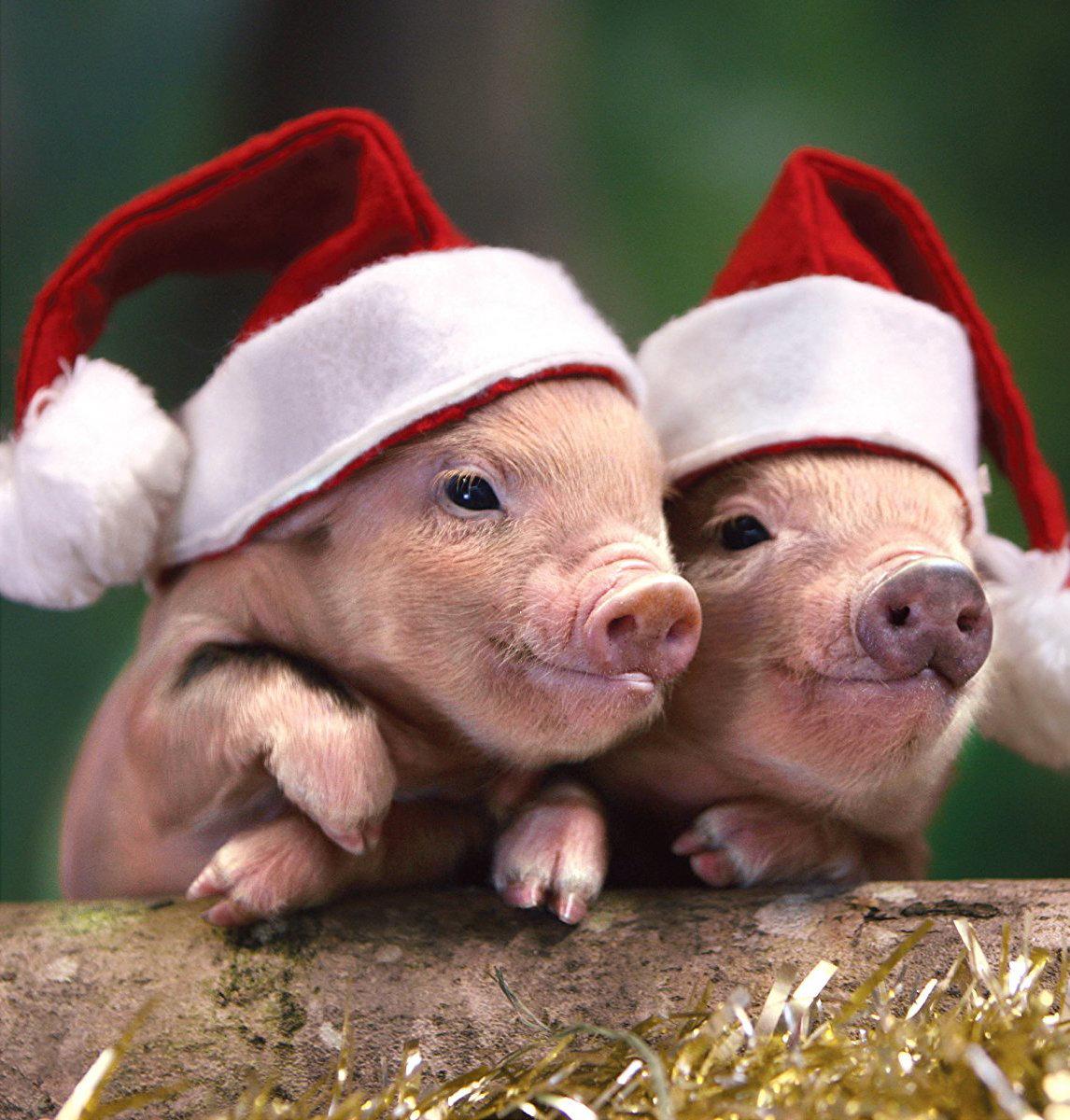 картинки нового года свиньи всего любители