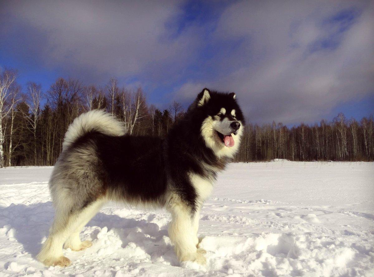 Картинка северных собак