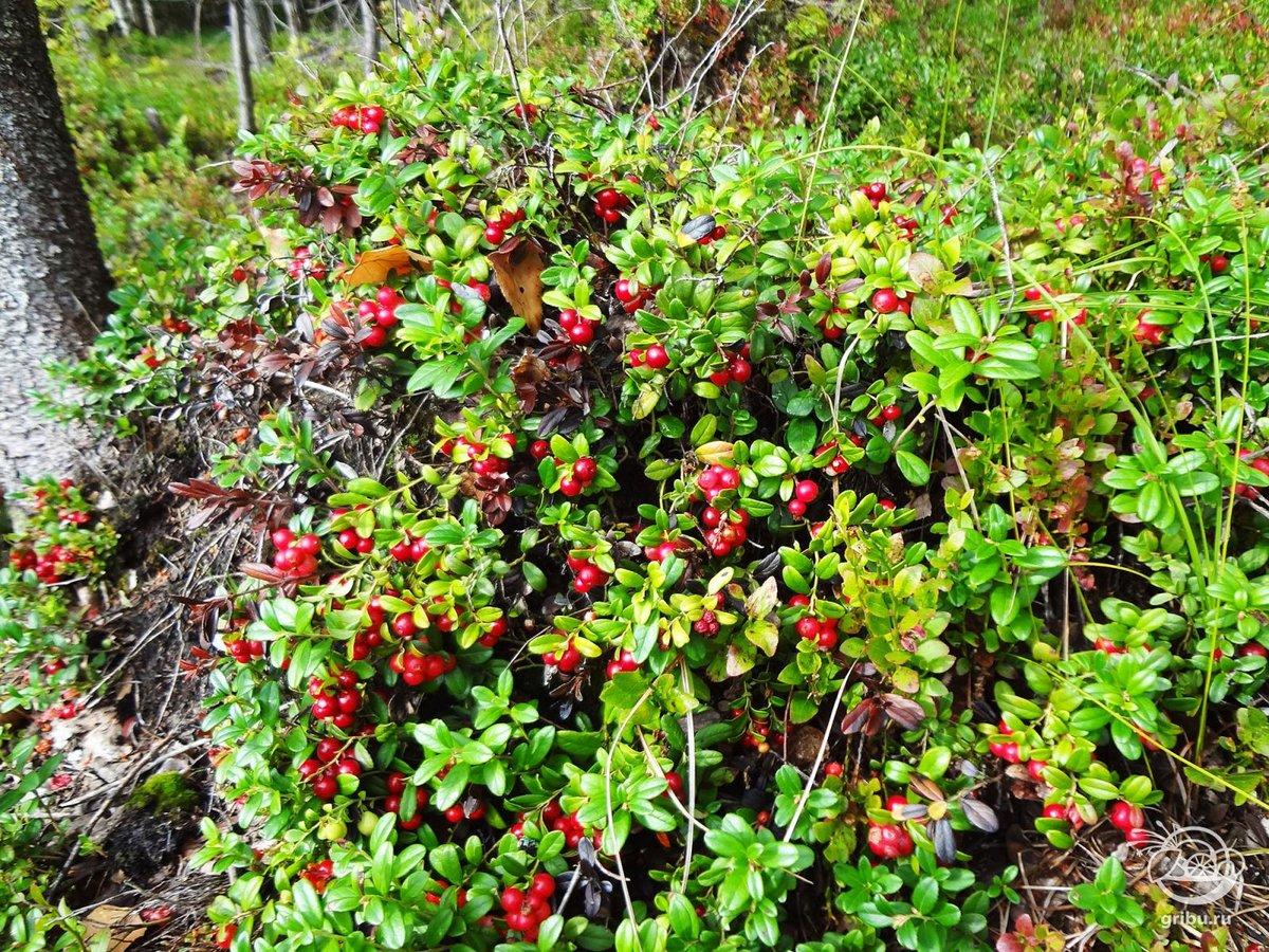 Картинка ягод в лесу