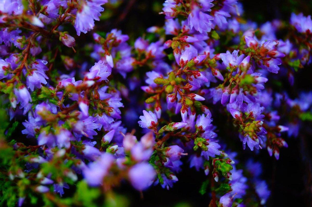 непале цветы вереска картинки него добраться