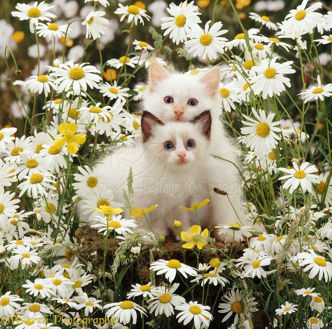 Кот и ромашка картинки