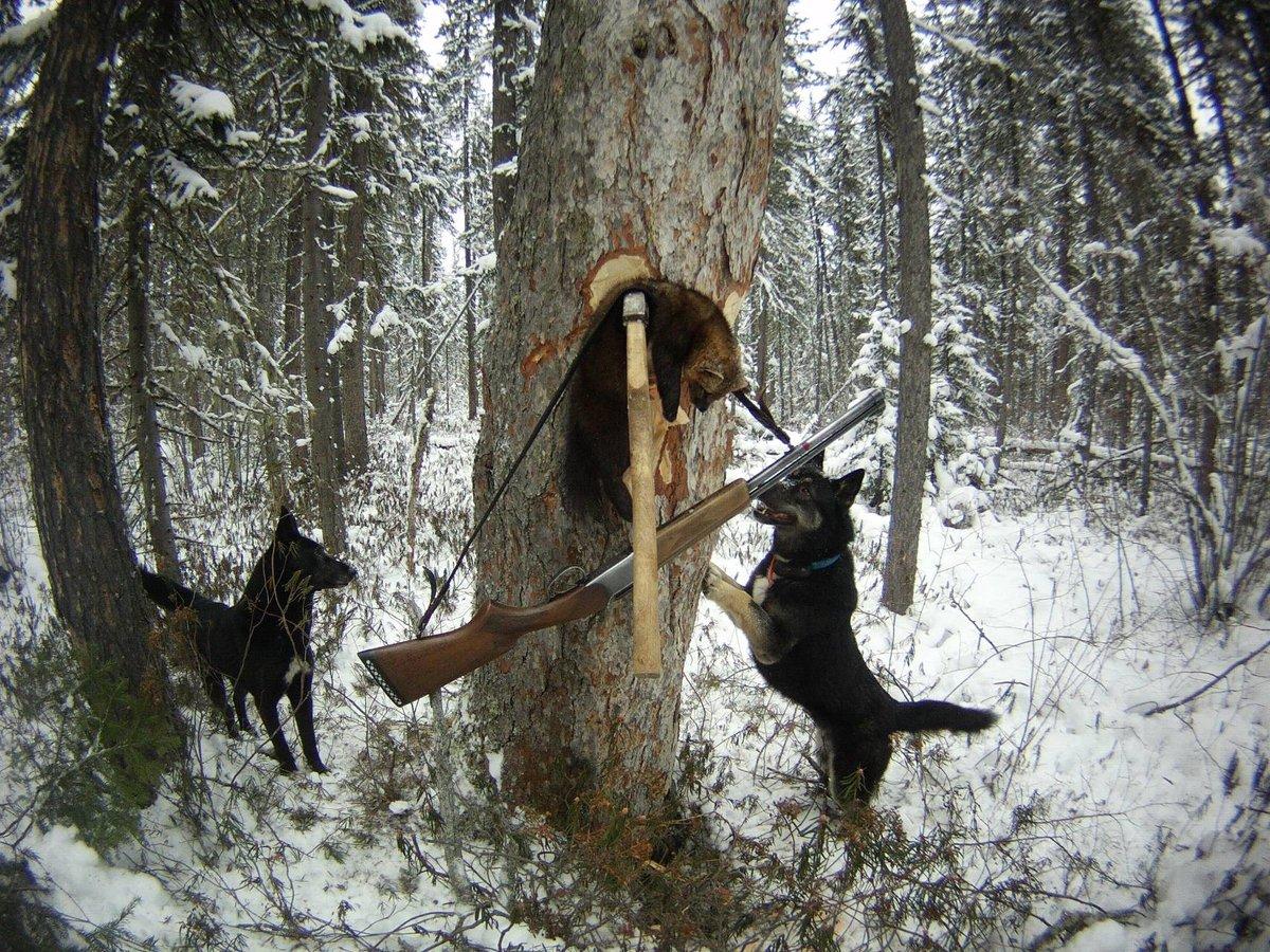 Картинки охоты с лайкой