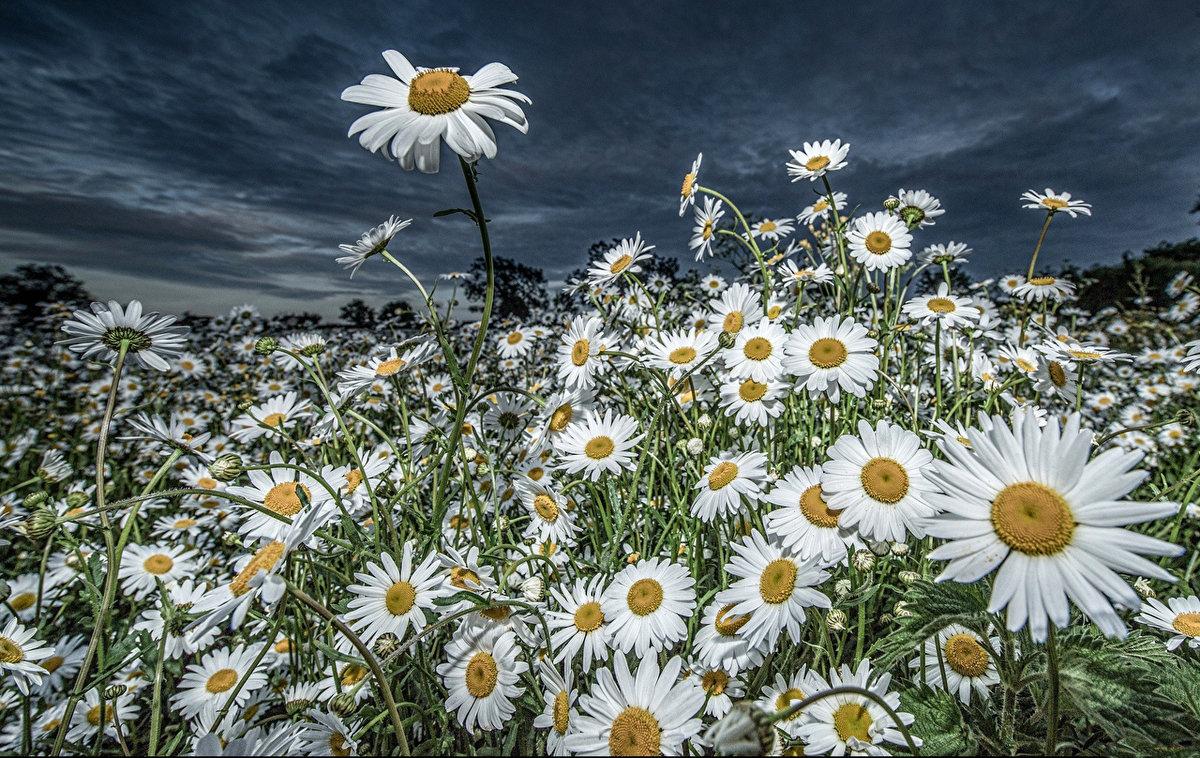 Фото красивые ромашки в поле, здоровья счастья