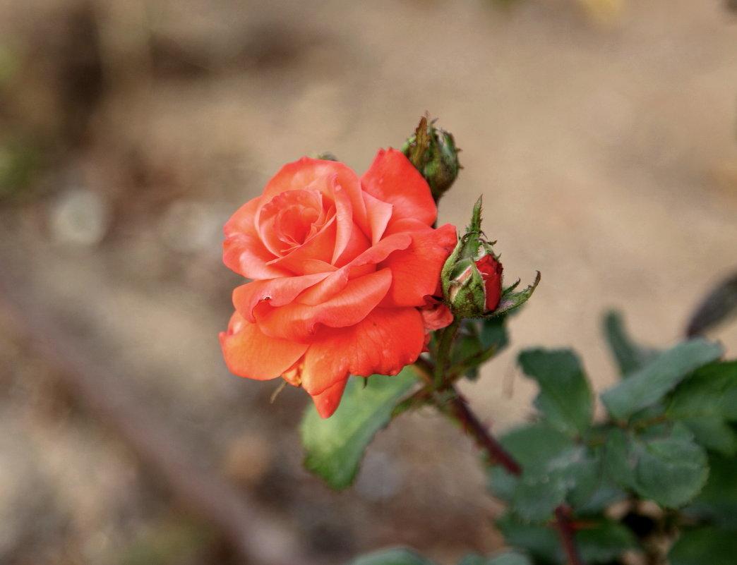 Дикие розы фото