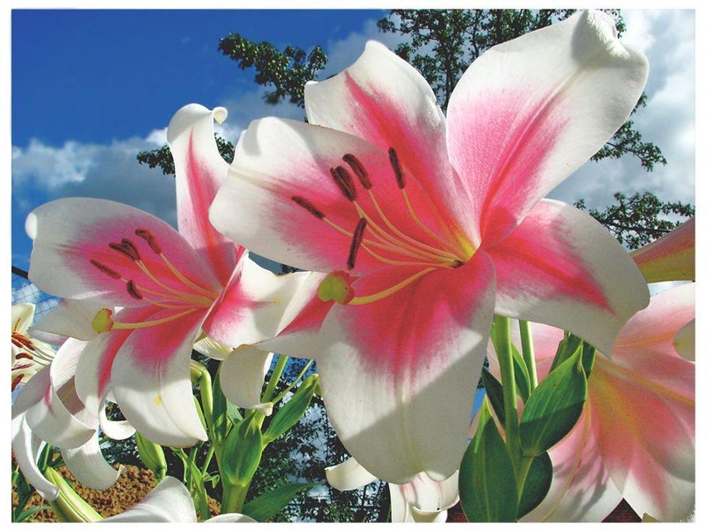 Красивые картинки для любимой девушки с добрым утром с лилиями