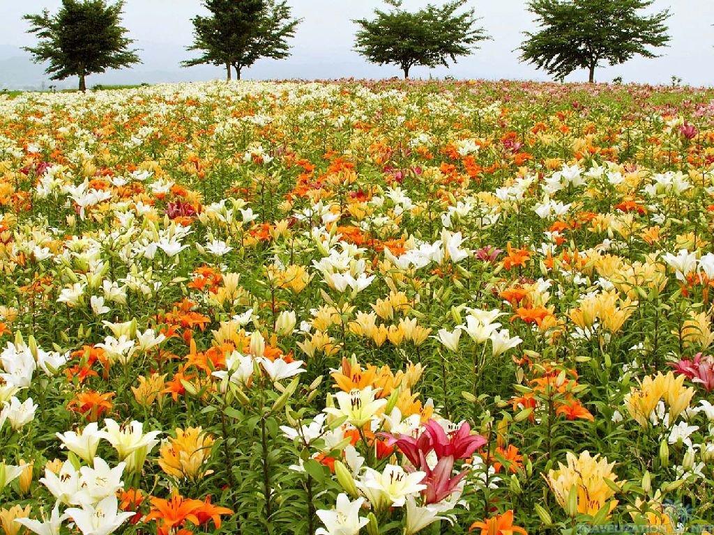 лилия полевая сад фото фотографы женевы