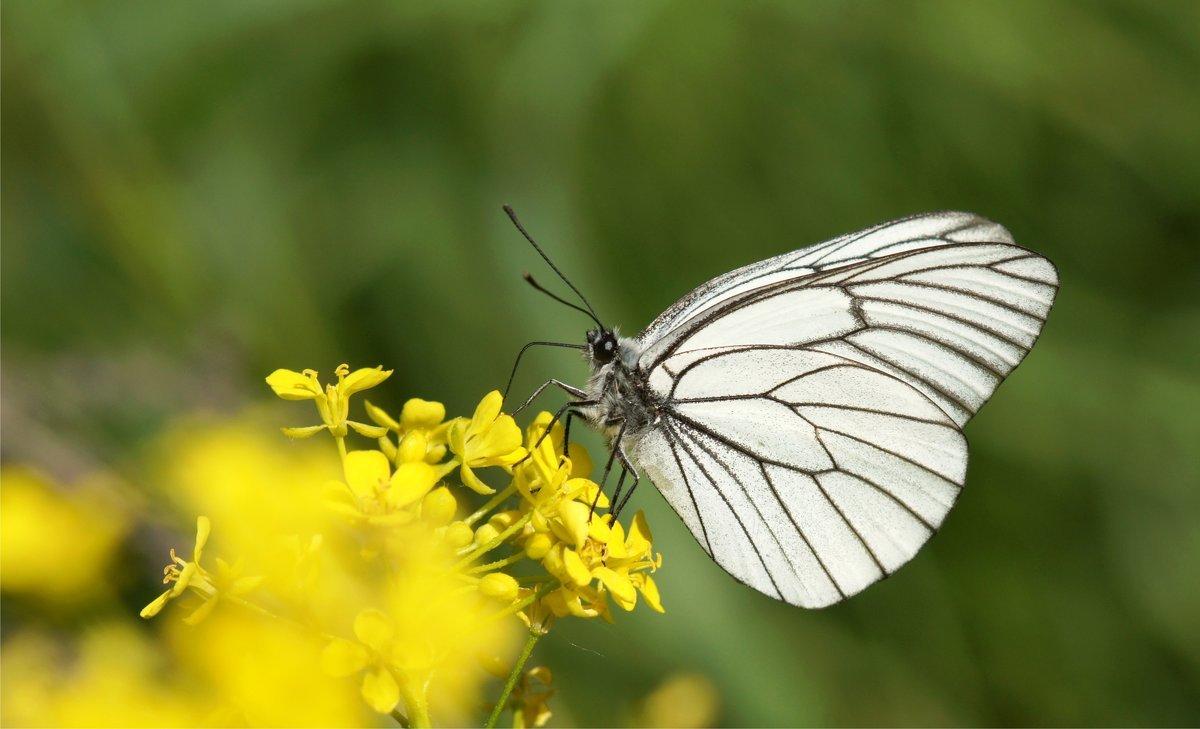 Открытки сделай, картинка с бабочкой капустницей
