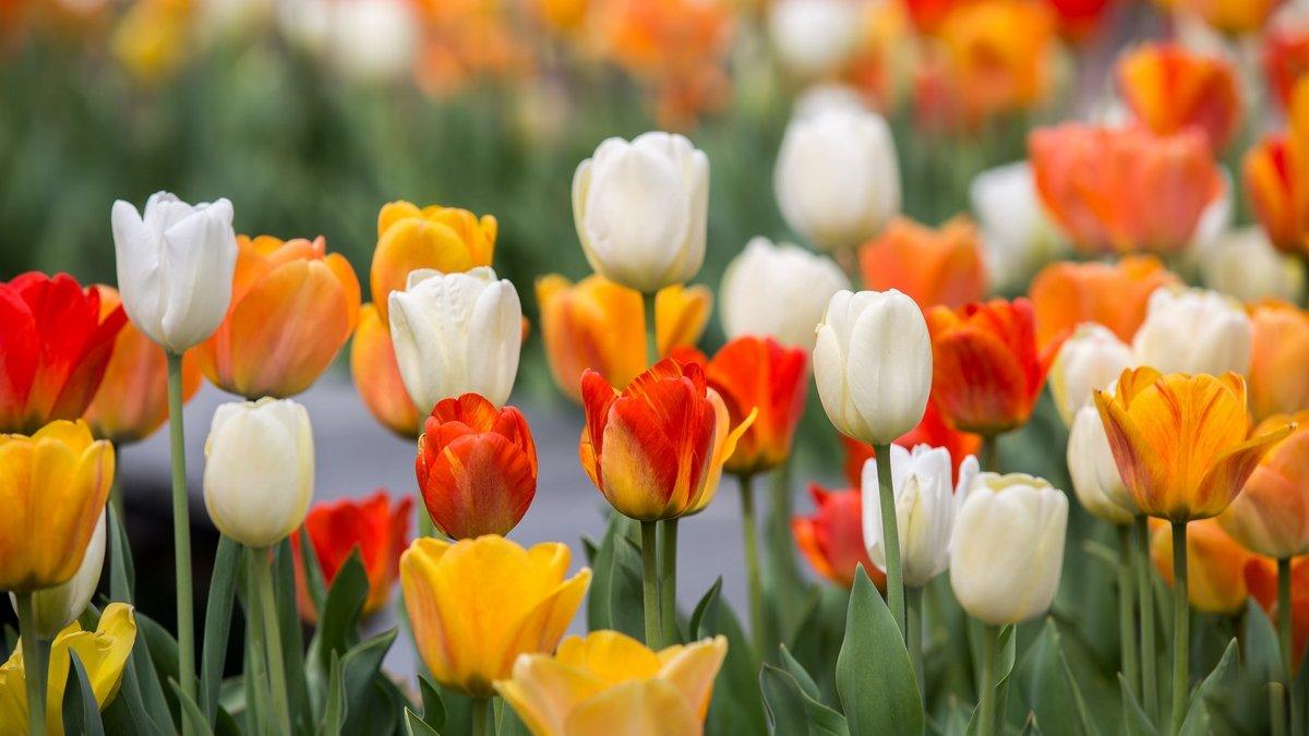 Картинки про тюльпаны