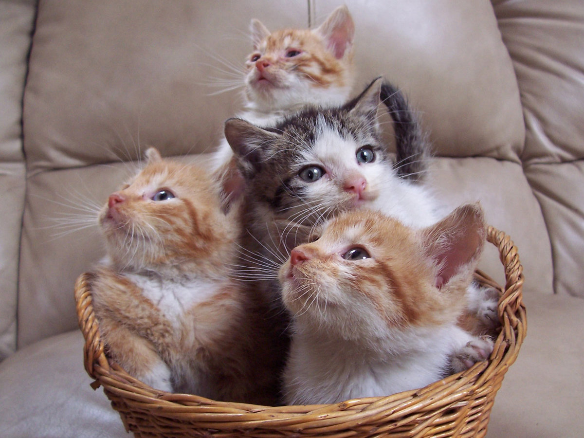 Чувашская, картинки два котенка в корзинке