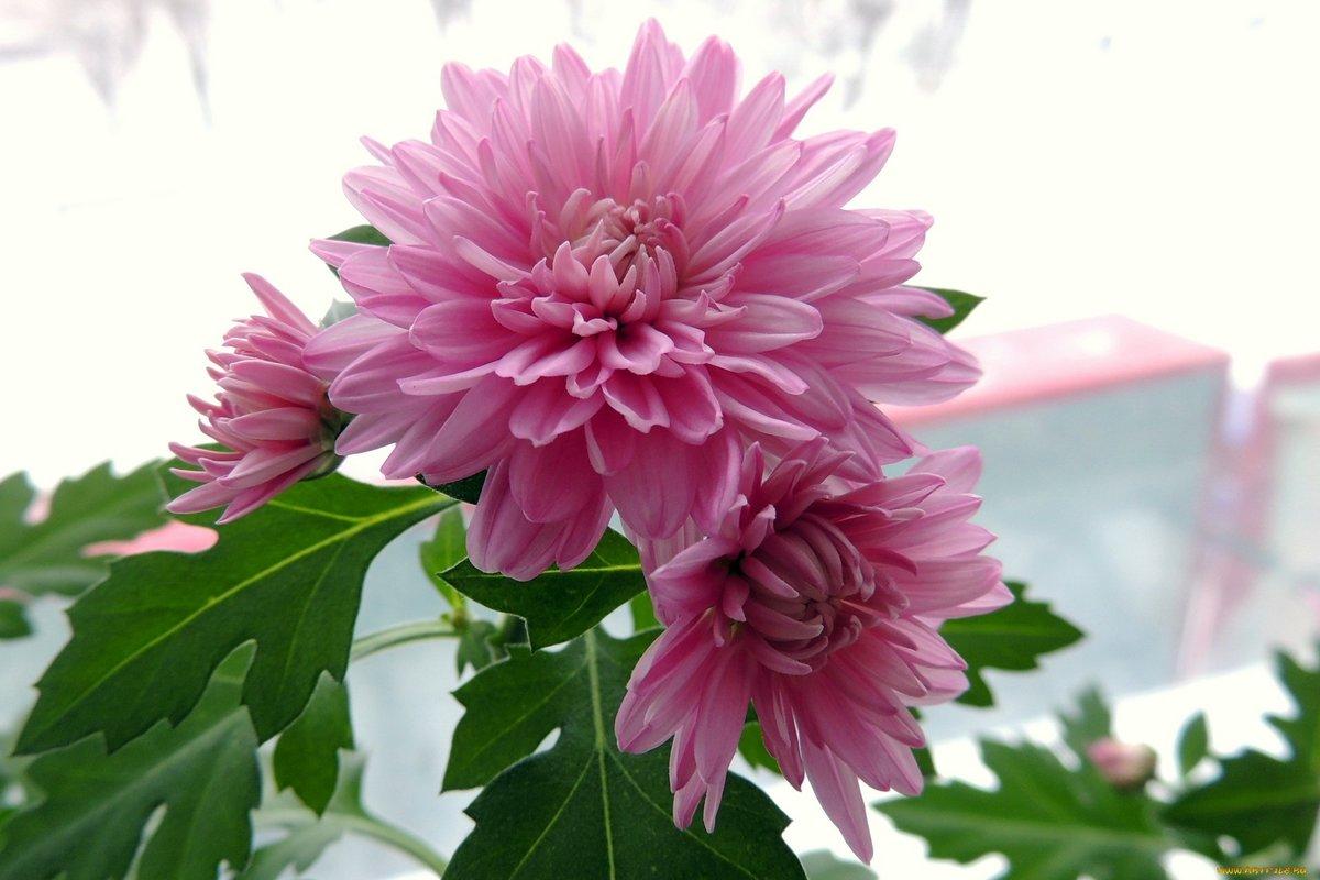 Вышивки для, картинки осенние цветы на рабочий стол хорошее качество