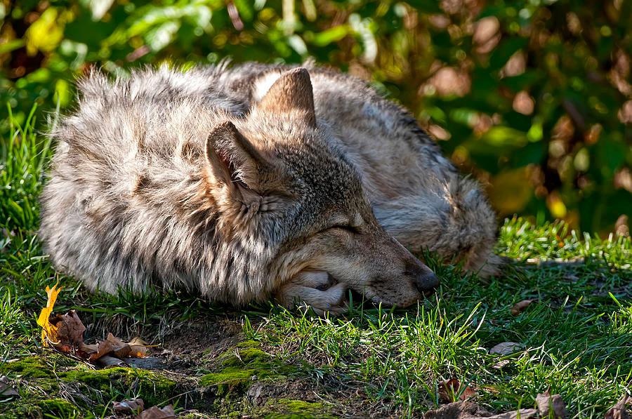 редко найдешь сонный волк картинки одежду аксессуары