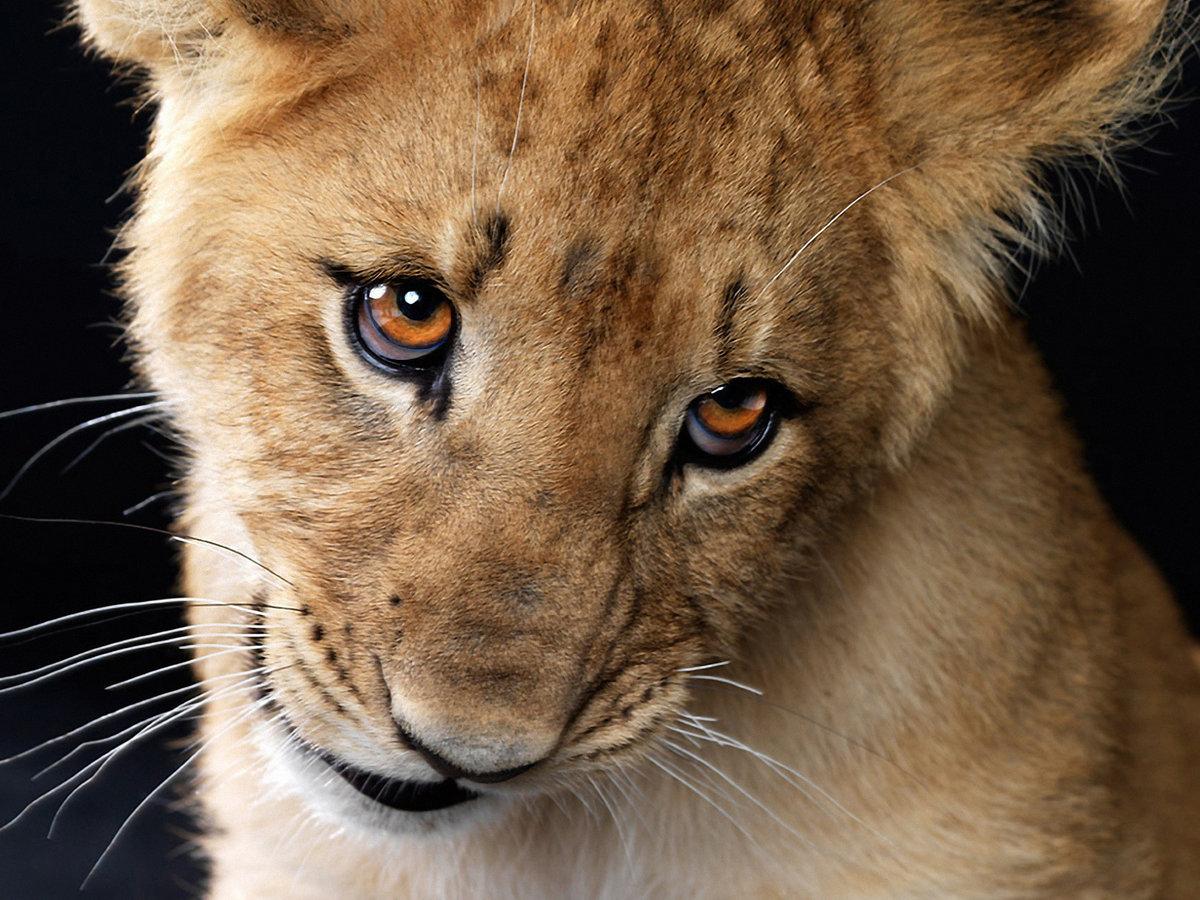 Смешные картинки львиц