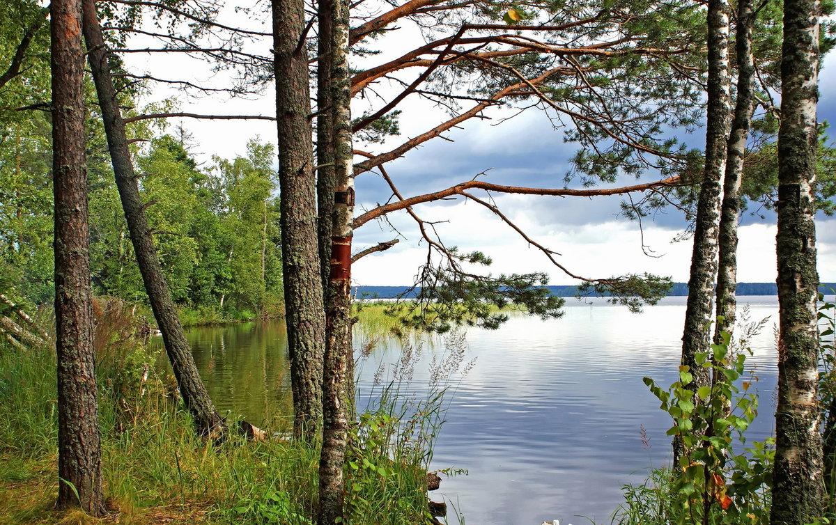 алтае сосны на берегу озера картинки карте, какого метро