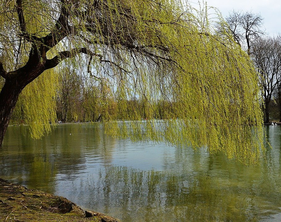 Ива пруд весна картинки