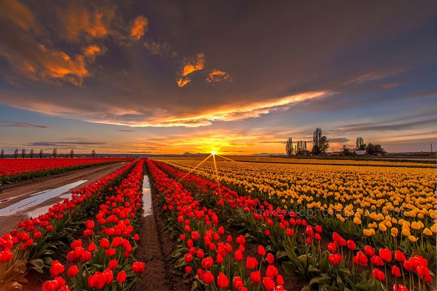 Открытка бумаги, картинки голландия тюльпаны