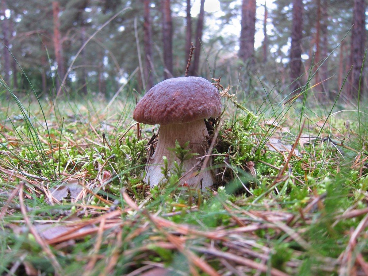 смородиновой грибы в ельнике фото того они могут