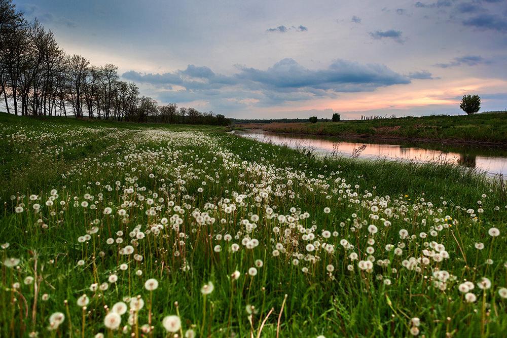 поле одуванчиков летом фото
