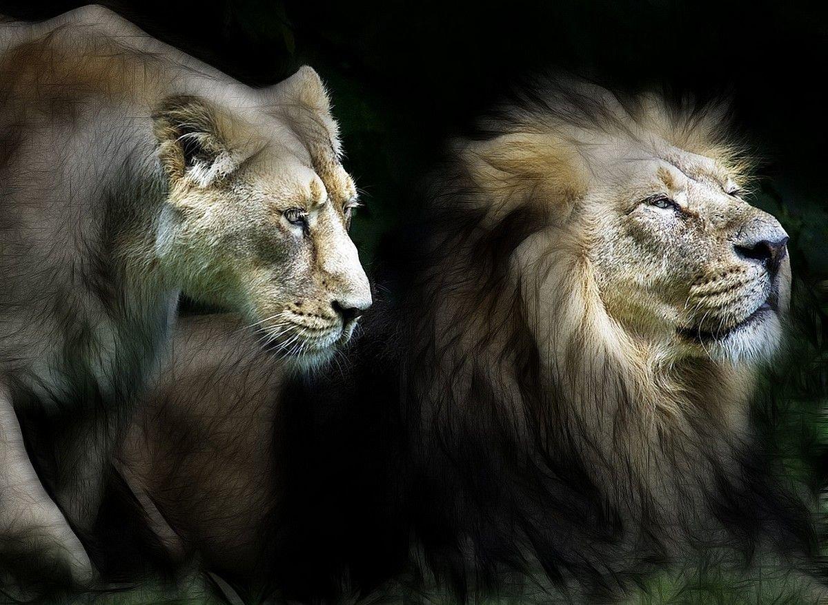 Картинка со львом и львицей, днем