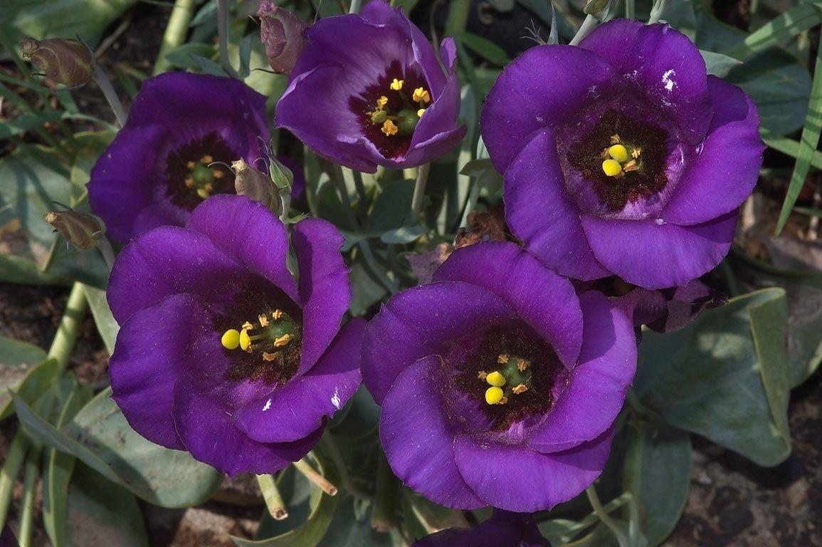 цветок истома картинка нанесения логотипа можно