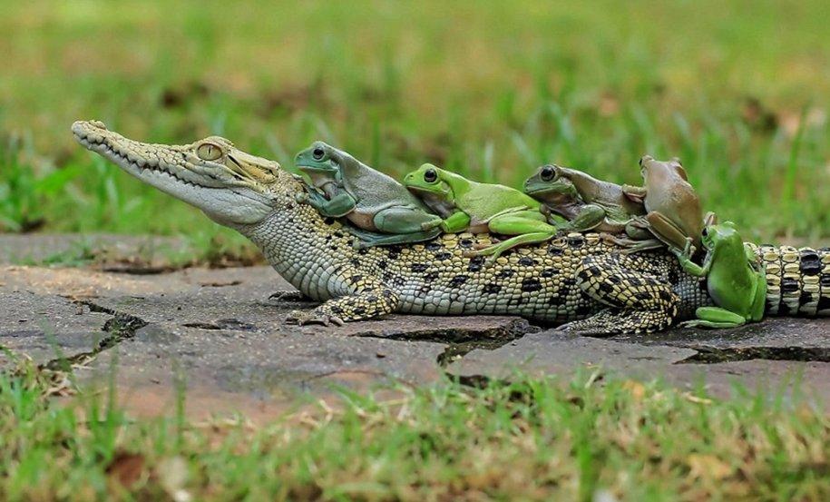 Смешные картинки с крокодилами, днем рождения мужчине