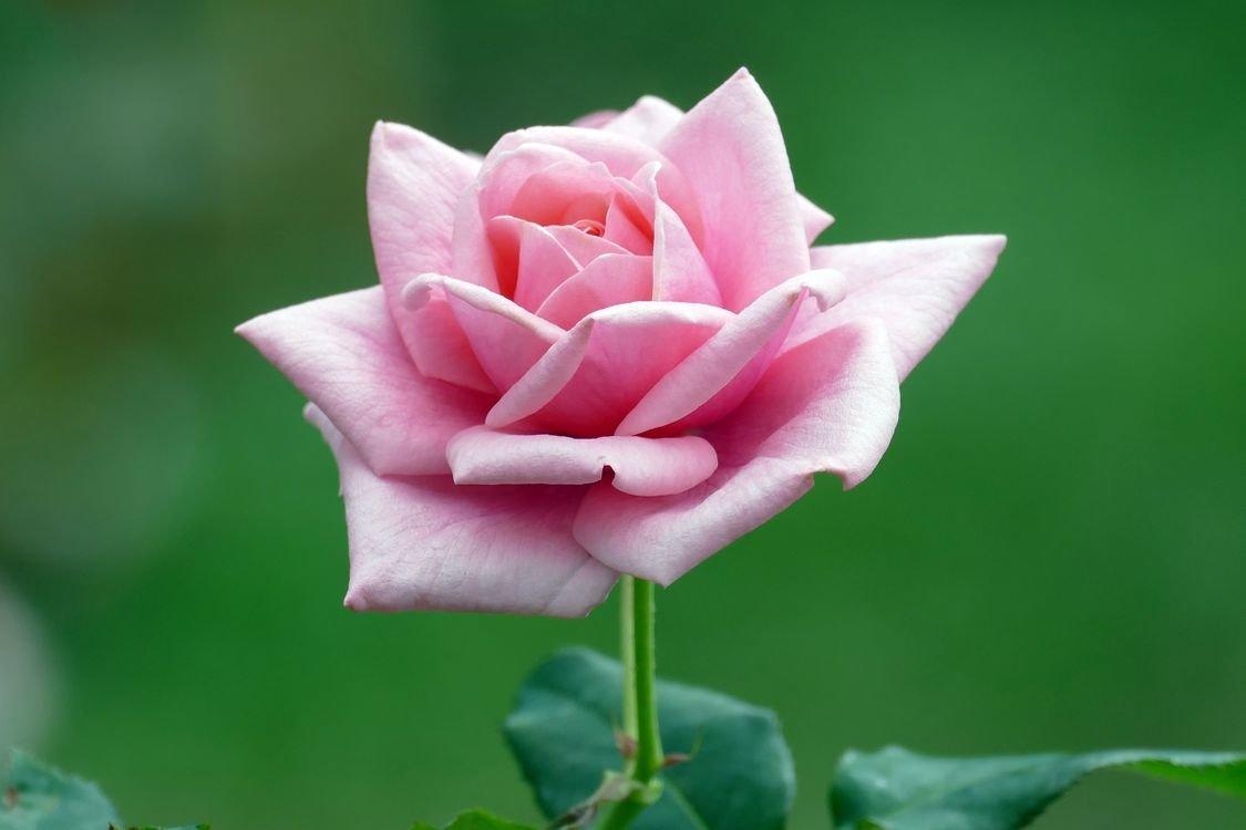 картинки распускающихся роз состояние ухудшилось, родные