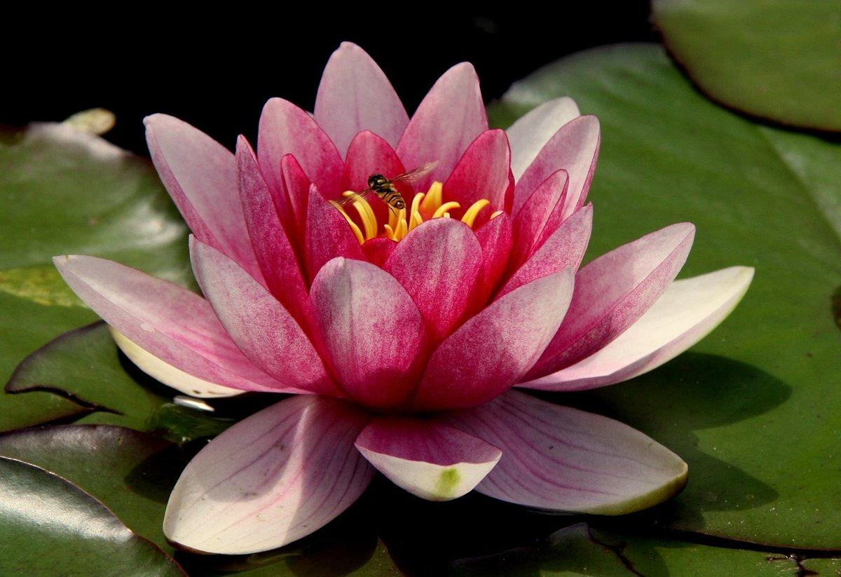 Светлане днем, открытки цветок лотос из