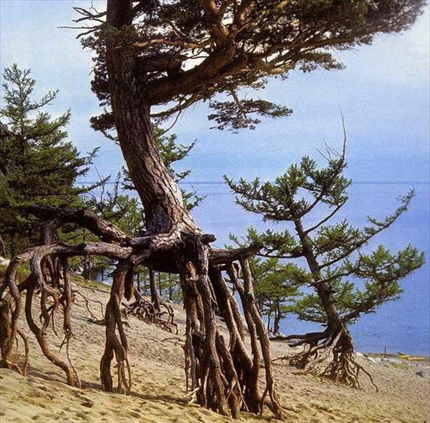 дерево на байкале картинки люди, которые